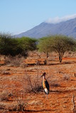 Marabu in der Savanne des Tsavo Ost in Kenia - 191658666