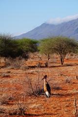 Marabu in der Savanne des Tsavo Ost in Kenia