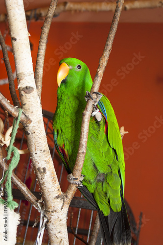 Eclectus parrot on a branch