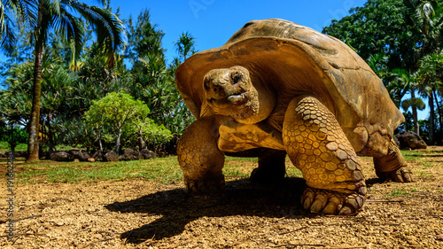 Fotobehang Schildpad Giant tortoise endangered species walking slowly