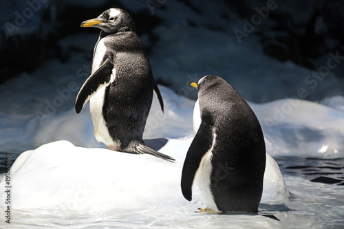 Fotobehang Pinguin Two gentoo penguin (pygoscelis papua) resting in the ice