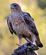 Aguila perdicera en su atalaya