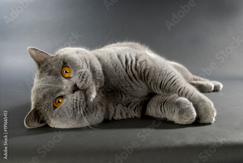 gato-britanico-de-pelo-corto-sobre-un-fondo-gris
