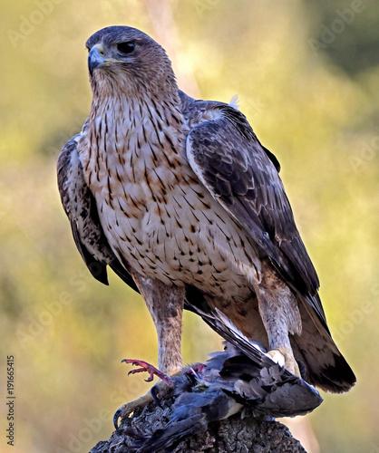 Aluminium Eagle Aguila perdicera en su atalaya