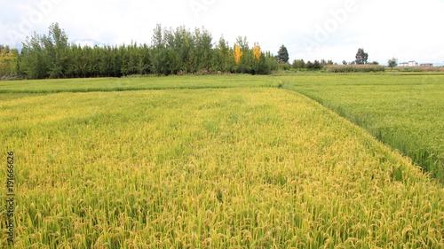 Foto op Canvas Pistache yellow fields landscape