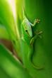 Madagascar Day Gecko - Phelsuma madagascariensis, Madagascar forest. Cute endemic Madagascar lizard.