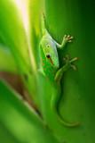 Madagascar Day Gecko - Phelsuma madagascariensis, Madagascar forest. Cute endemic Madagascar lizard. - 191681607