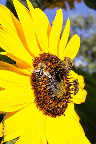 Sonnenblume mit Honigbienen