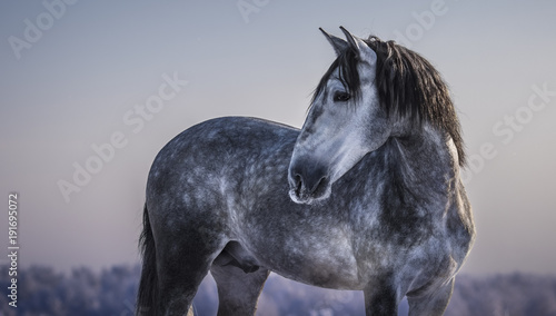 Aluminium Paarden Horizontal portrait of gray Spanish horse with winter evening skies.