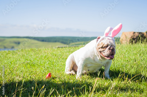 Deurstickers Franse bulldog Great concept of Easter. Cute English bulldog breed dog dressed as Easter bunny running on the lawn.
