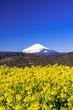 二宮・吾妻山公園より富士山と菜の花