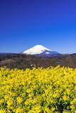 二宮・吾妻山公園より富士山と菜の花 - 191722281