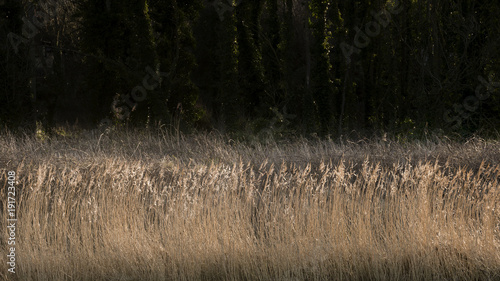 Fotobehang Zwart Detailed intimate landscape image of reeds on riverbank in sunlight against dark woodland background