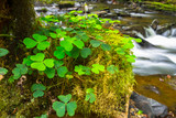 Green clover leafs in the forest of Ireland - 191723854