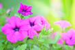 Leinwanddruck Bild - purple flowers in the garden on sunshine day,nature background.