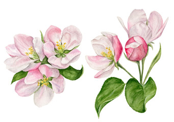 hand-painted watercolor illustration of Apple blossom with buds and leaves © Irina Violet