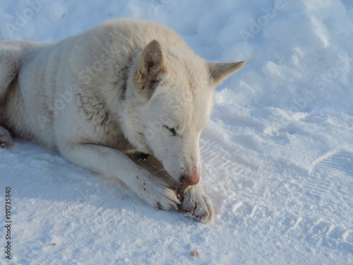 Aluminium Wolf white dog in the snow in the village