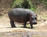 Hippopotamus at masai river - 191736061