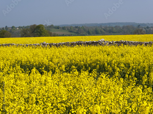 Aluminium Meloen A vibrant spring landscape of yellow oil seed rape in the Cotswolds near Chalford, UK