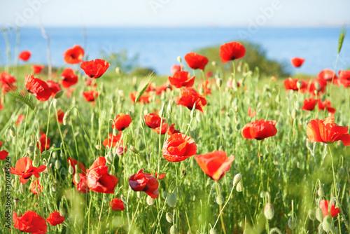 Fotobehang Klaprozen Red flowers poppies on field