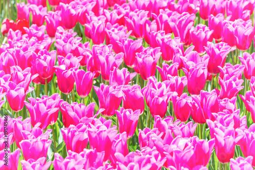 Fotobehang Tulpen Many pink tulips