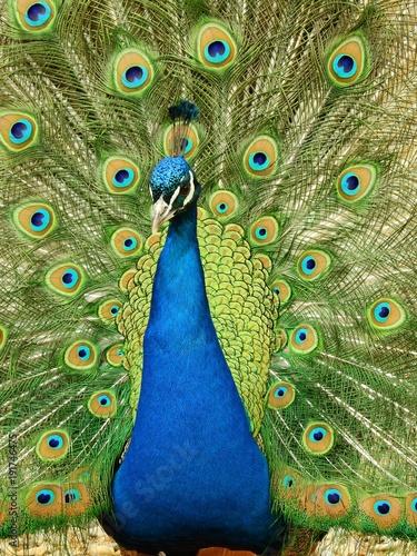 Fotobehang Pauw tavus kuşu kanatları