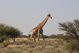 Giraffe - 191751403