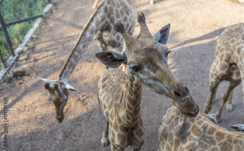 Fotobehang Thailand Giraffe is waiting food from tourist in a zoo. Top view image of giraffe. Close up giraffe's head.
