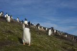 Breeding colony of Gentoo Penguins (Pygoscelis papua) on Carcass Island in the Falkland Islands. - 191764221