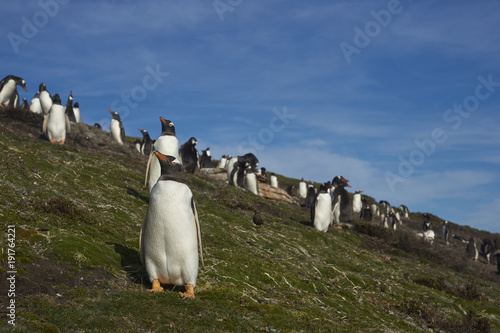 Breeding colony of Gentoo Penguins (Pygoscelis papua) on Carcass Island in the Falkland Islands.
