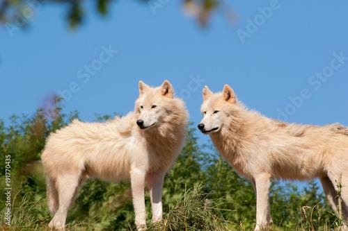 Aluminium Wolf Wolf Duo