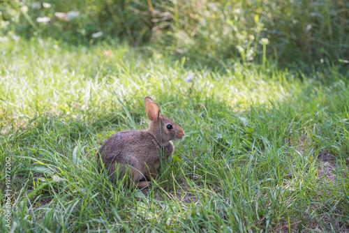Papiers peints Toronto Wild rabbit in green grass