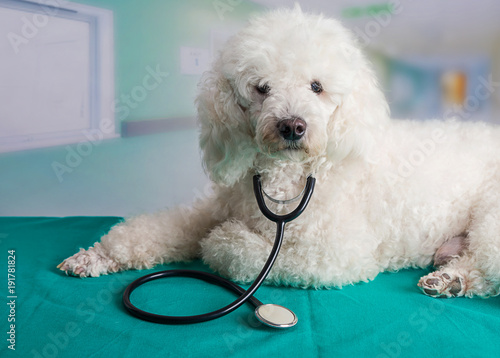 French poodle with a stethoscope
