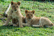Lion cubs sitting