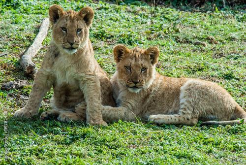 Fotobehang Lion Lion cubs sitting