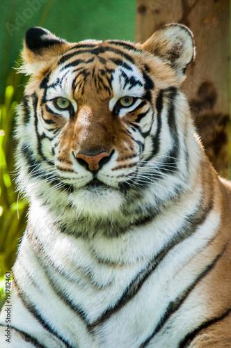 Fotobehang Tijger Tiger eyes