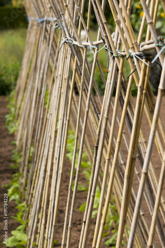 A long row of bean sticks with young plants ready to grow. Shallow depth of field.