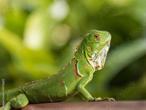 Fototapeta Small Green Iguana Closeup