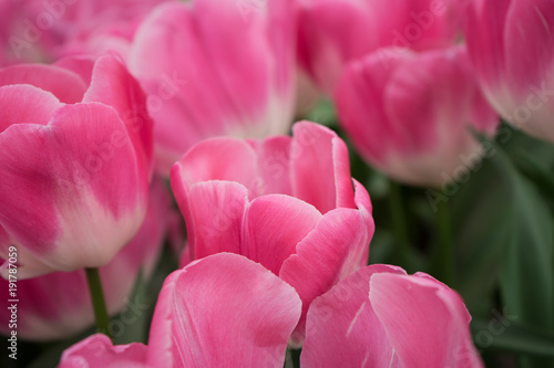 Aluminium Candy roze Pink tulip flowers in a garden in Lisse, Netherlands, Europe