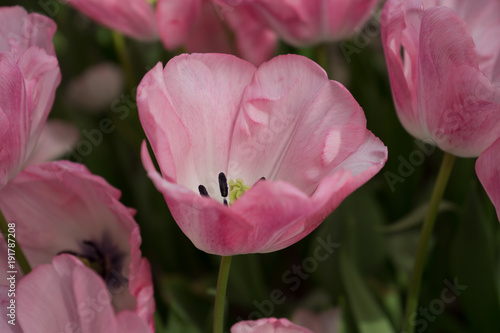 Foto op Canvas Crimson Pink tulip flowers in a garden in Lisse, Netherlands, Europe