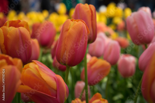 Fotobehang Rood traf. Red tulip flowers in a garden in Lisse, Netherlands, Europe