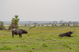 Isolated Buffalo grazing in the savannah of Amboseli Park in North West Kenya - 191794475