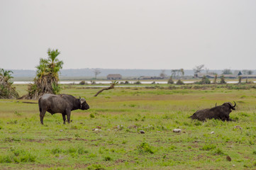 Isolated Buffalo grazing in the savannah of Amboseli Park in North West Kenya