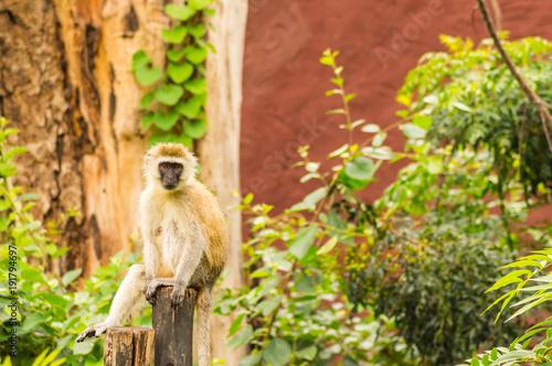 Fotobehang Aap Vervet monkey sitting on a wooden post in the savannah of Amboseli Park in Kenya