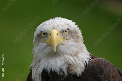 Fotobehang Eagle la mirada del aguila calva