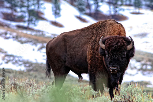 Aluminium Bison Bison bull with snow in background