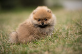 cute Little young pomeranian cob playing on grass outdoor - 191805844