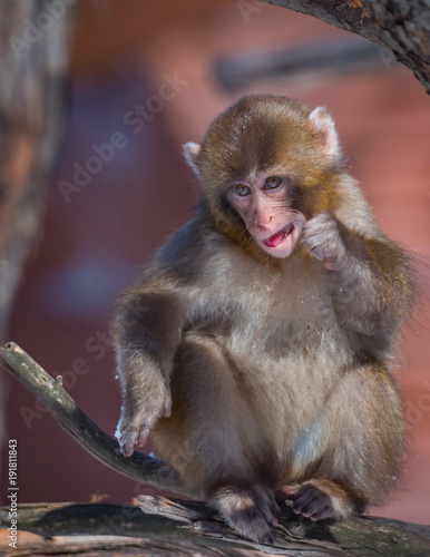 Fotobehang Aap Baby Japanese Macaque - Macaca Fuscata - Eating Ice