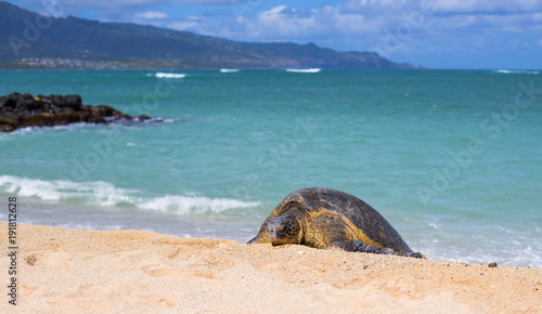 Foto op Canvas Tropical strand Hawaiian Beach Turtle