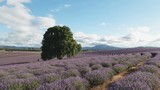 afternoon wide shot of  rows of lavender and and old oak tree at a farm in tasmania, australia - 191816033